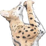 :serval: